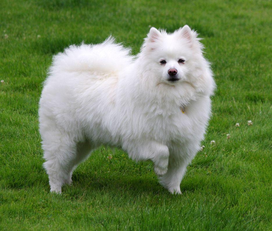 Secondary image of American Eskimo Dog dog breed