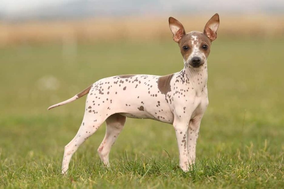 Secondary image of American Hairless Terrier dog breed