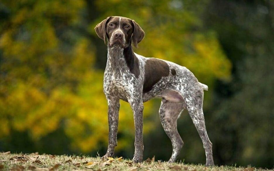 Secondary image of Braque Francais dog breed