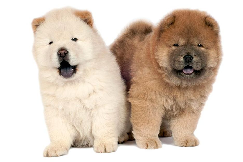 Secondary image of Chow Chow dog breed
