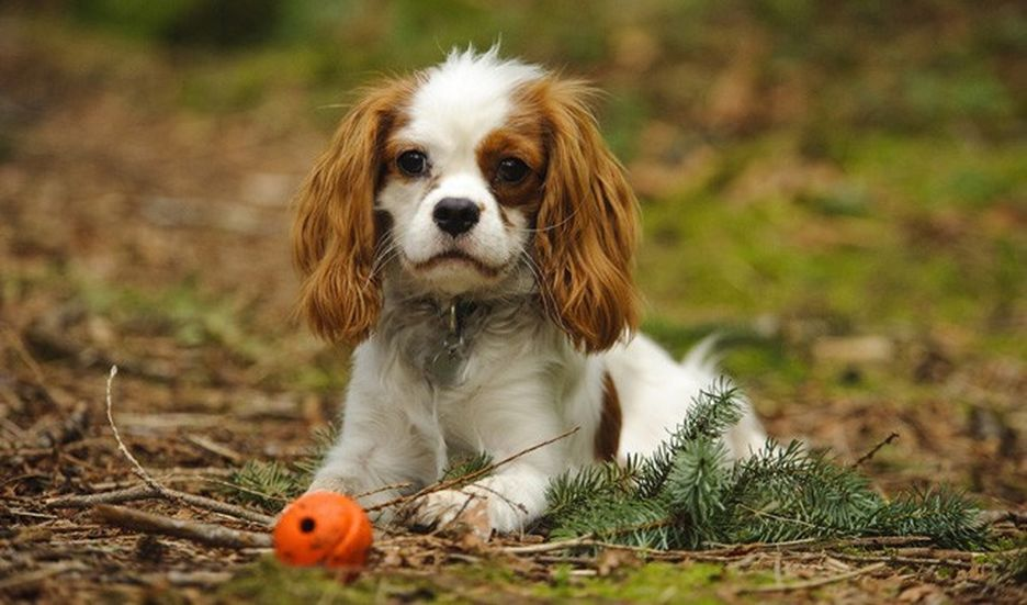 Secondary image of Cavalier King Charles Spaniel dog breed