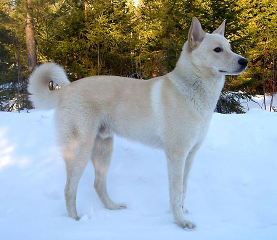 Secondary image of Canaan Dog dog breed