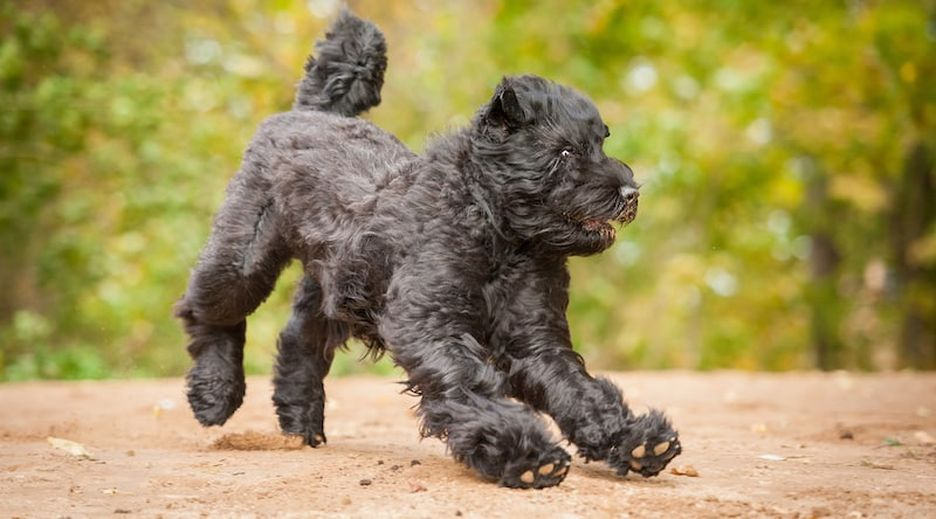 Secondary image of Black Russian Terrier dog breed