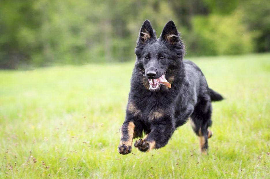 Secondary image of Bohemian Shepherd dog breed