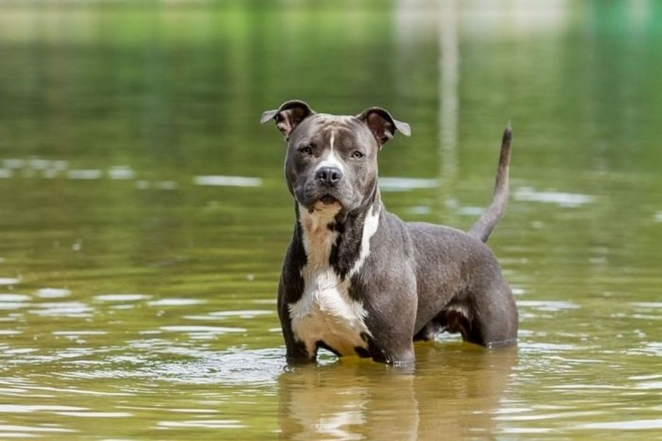 Secondary image of American Pit Bull Terrier dog breed