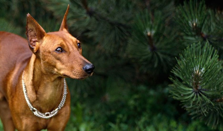 Secondary image of German Pinscher dog breed