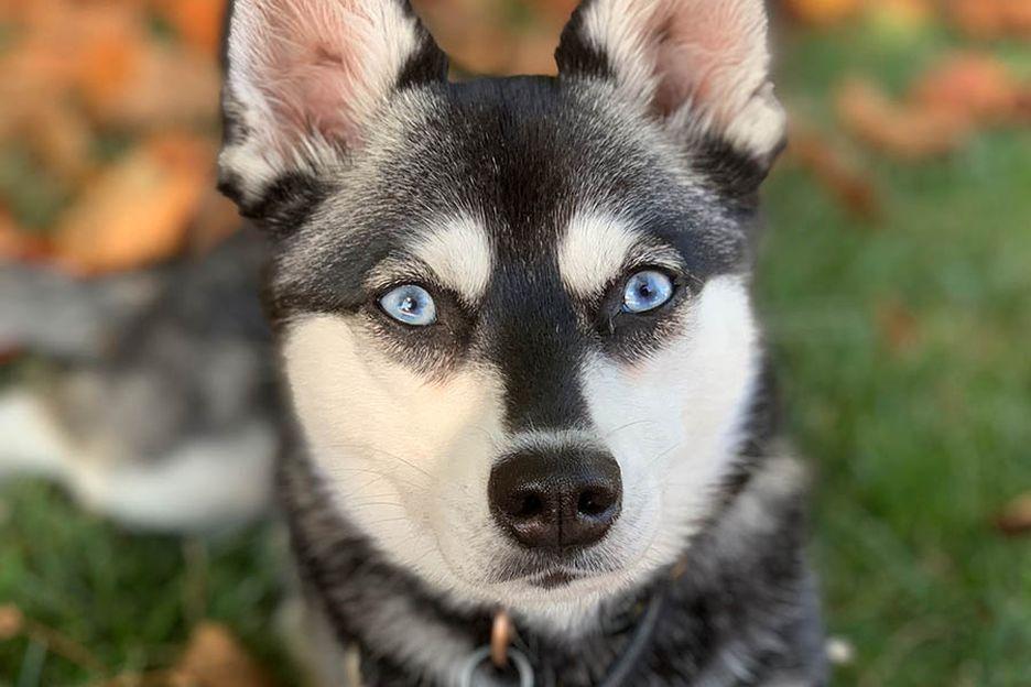 Secondary image of Alaskan Klee Kai dog breed