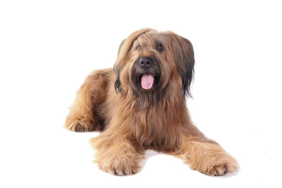 Secondary image of Briard dog breed