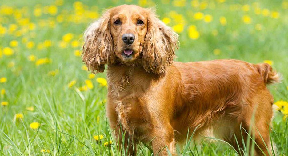 Secondary image of Cocker Spaniel dog breed