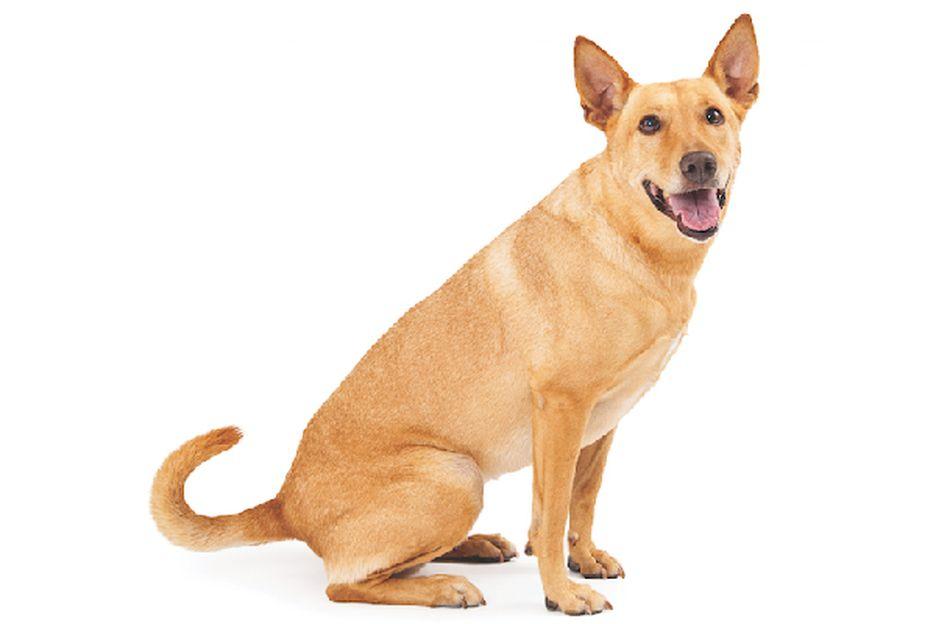 Secondary image of Carolina Dog dog breed