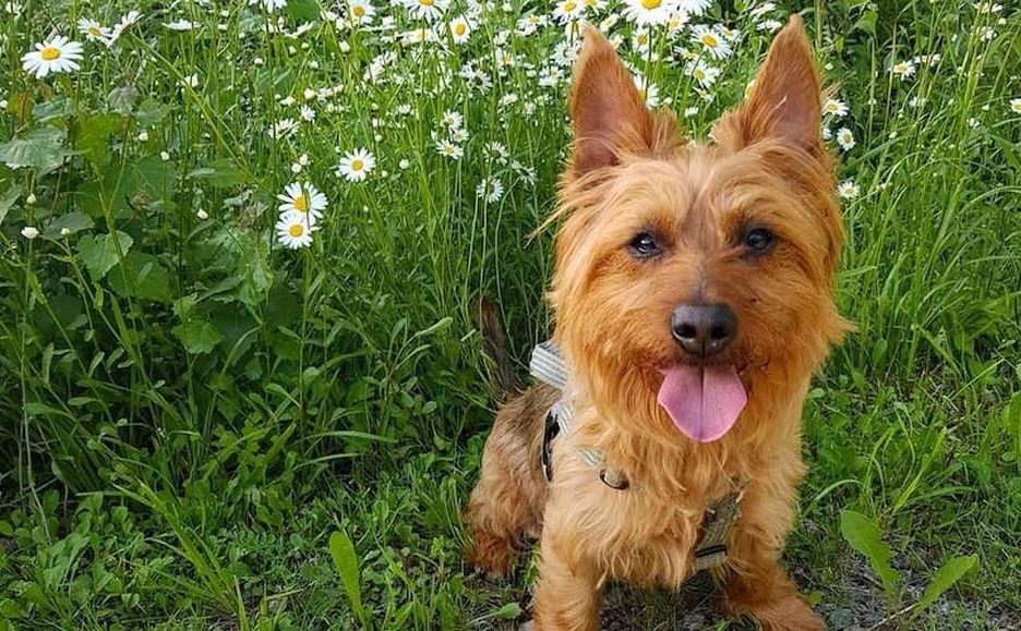 Secondary image of Australian Terrier dog breed