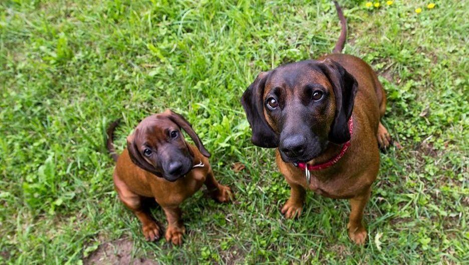 Secondary image of Bavarian Mountain Hound dog breed