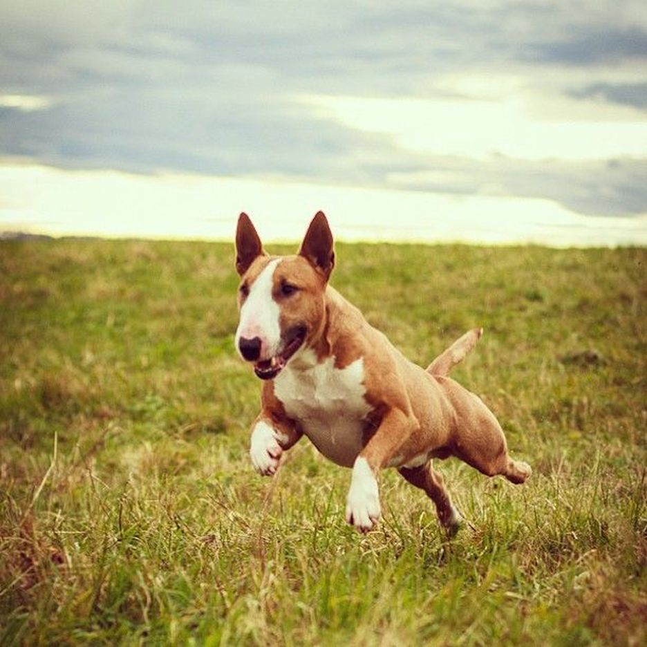Secondary image of Bull Terrier dog breed