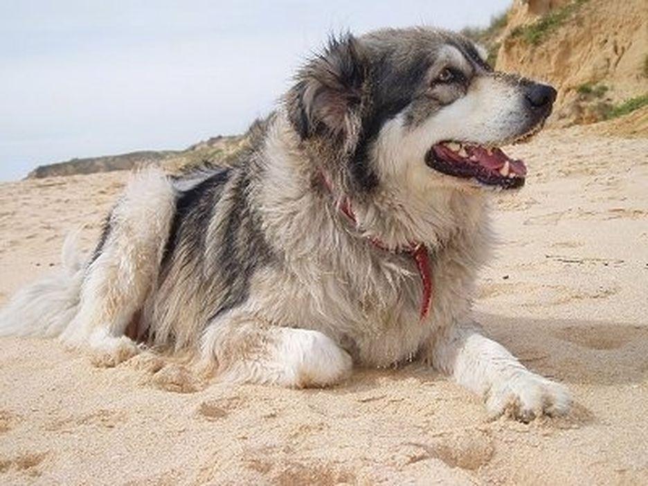 Secondary image of Carpathian Shepherd Dog dog breed