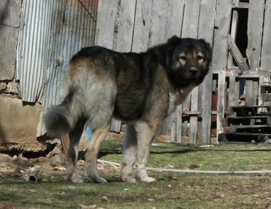 Secondary image of Armenian Gampr Dog dog breed