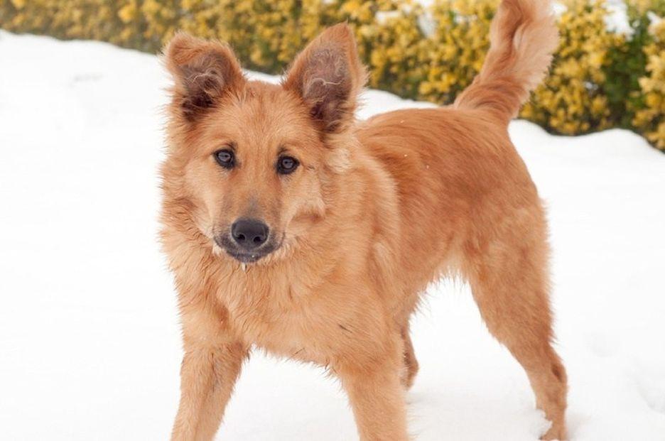 Secondary image of Basque Shepherd Dog dog breed