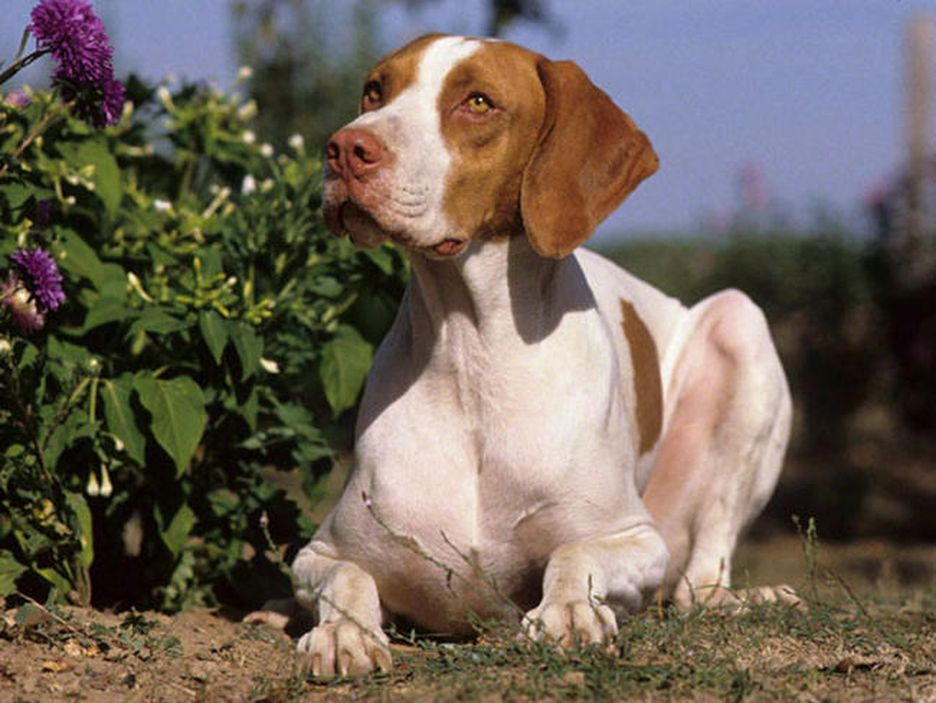 Secondary image of Braque Saint-Germain dog breed