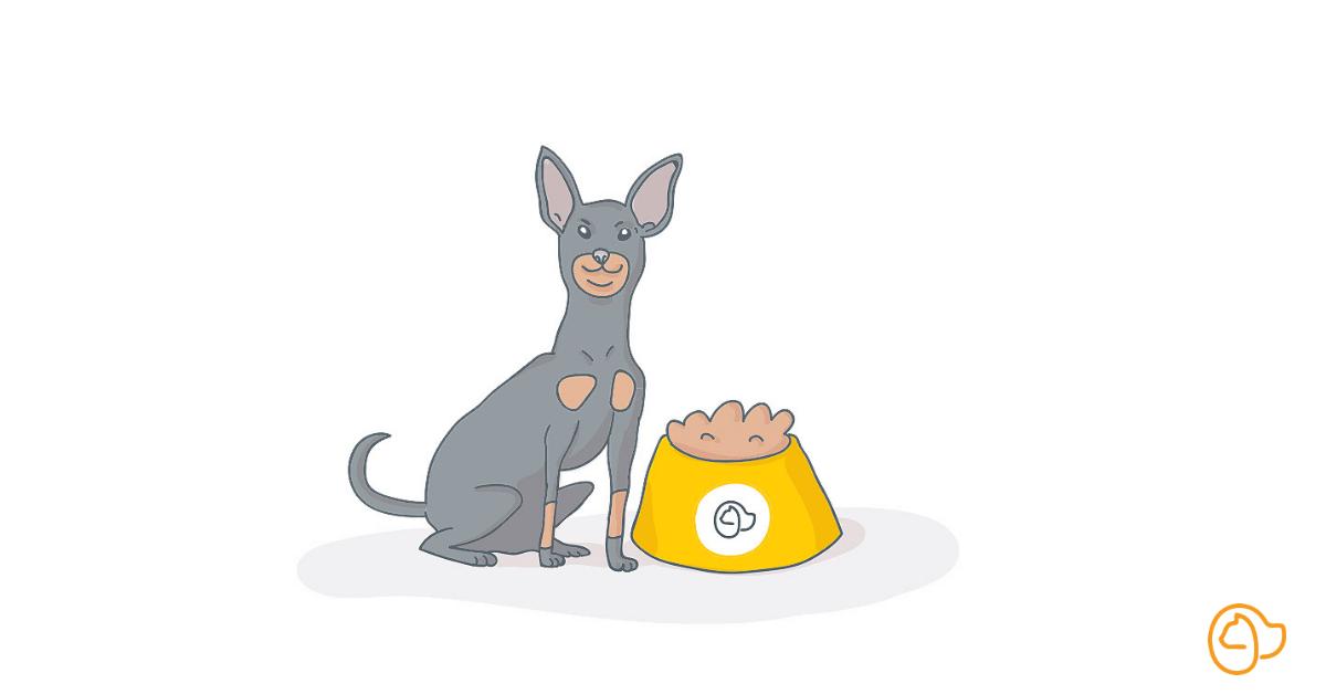 pinscher nain chien