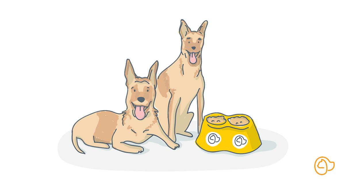 berger belge malinois chien